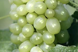 Weintrauben-Polyphenole