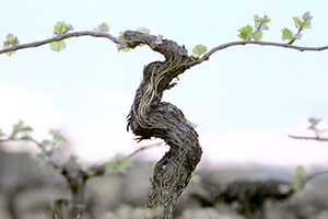 Resveratrol aus der Weinranke